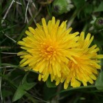 dandelion1