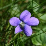 common-blue-violet1