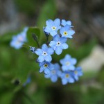 forget-me-not1